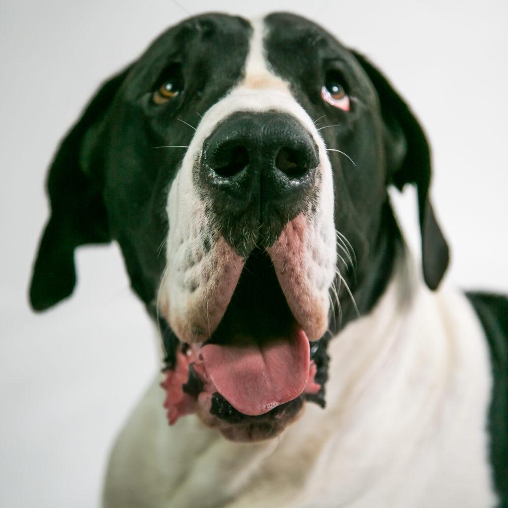 Sydney--Dog, dogphotography, dography, greatdane-MAX54343